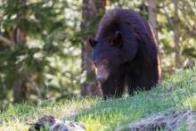 Whistler bear viewing