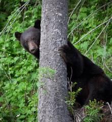 Bear in the tree