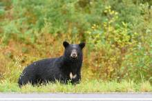 A bear-watching tour in Whistler.